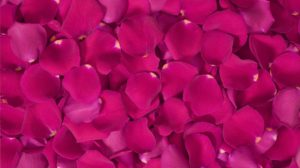 flower-preservation-rose-petals